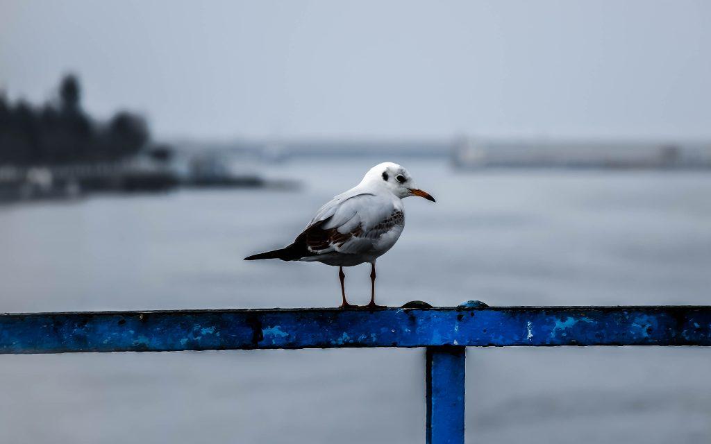 پس زمینه مرغ دریایی seagull wallpaper